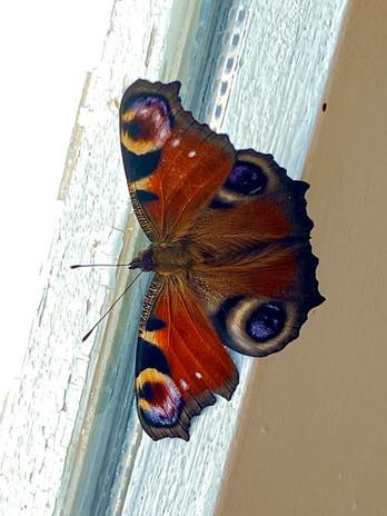papillon fenetre.jpg