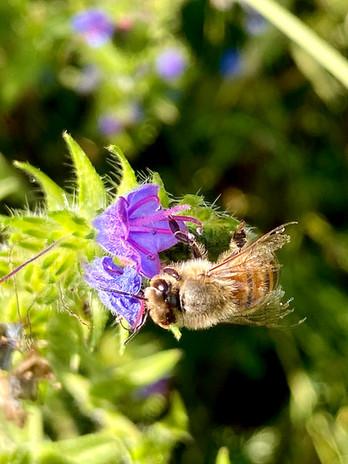 abeille fleur.jpg