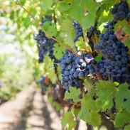 Découverte des vignes de la région