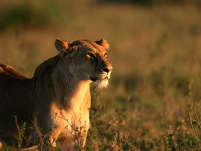 Leadership Lioness