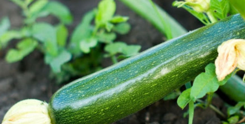 Courgetteplant groen