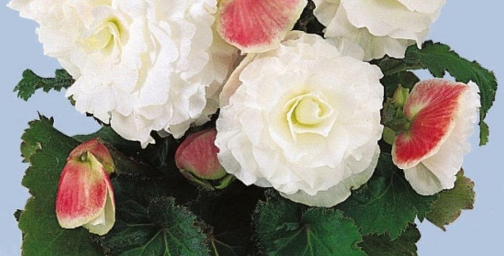 Begonia tuberosa knolbegonia
