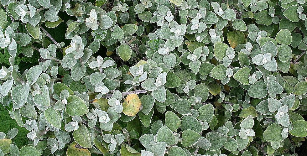 Helichrysum petiolare (lanatum) - Kerrieplant, kooigoed