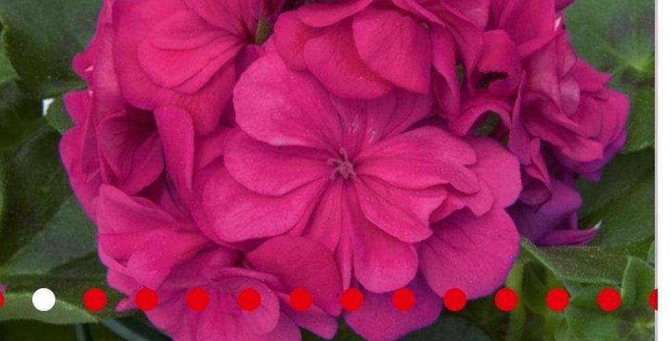Pelargonium peltatum - geranium Hang dubbelbloemig