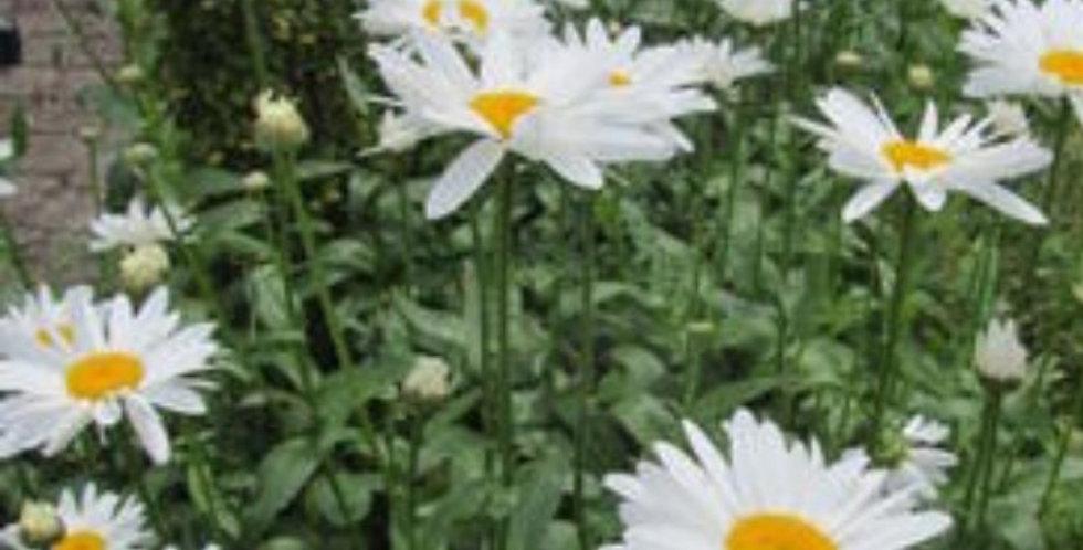 Leucanthemum wit