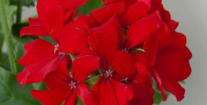 Pelargonium x interspecific (hybride) / geranium