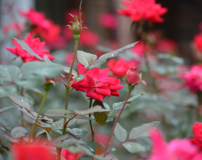 single rose avery  (2).JPG
