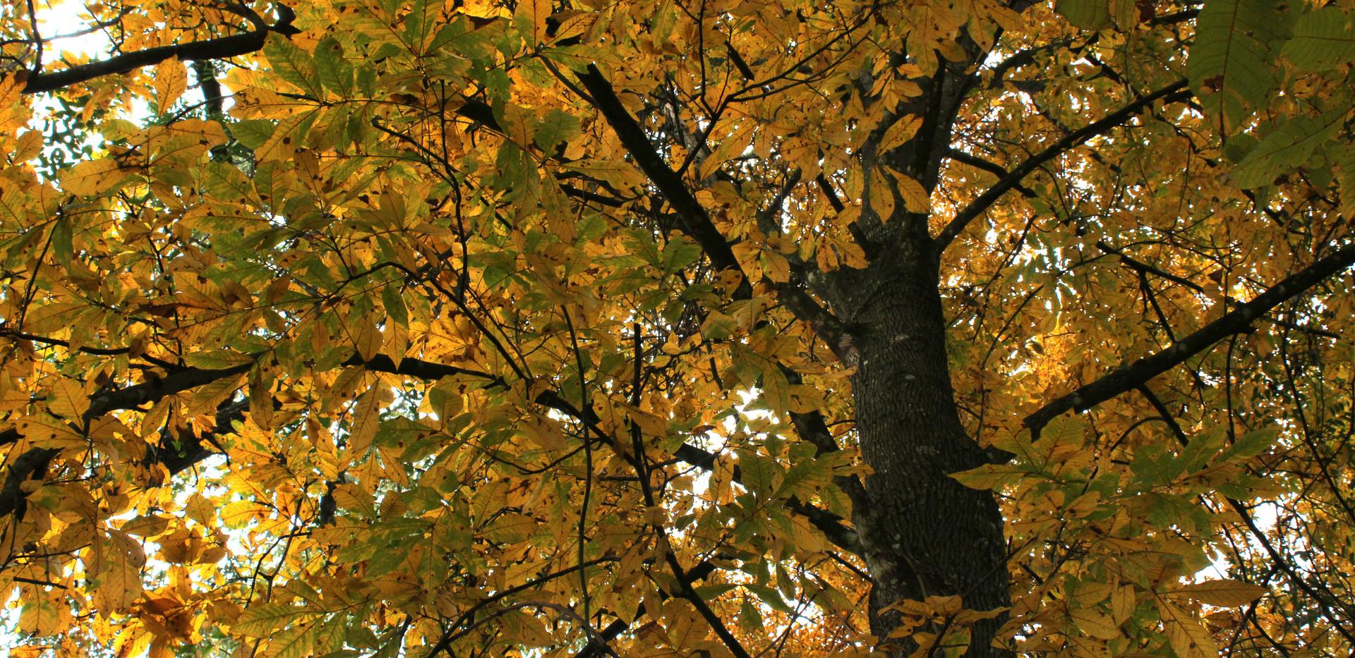 libbie-bright yellow tree.JPG