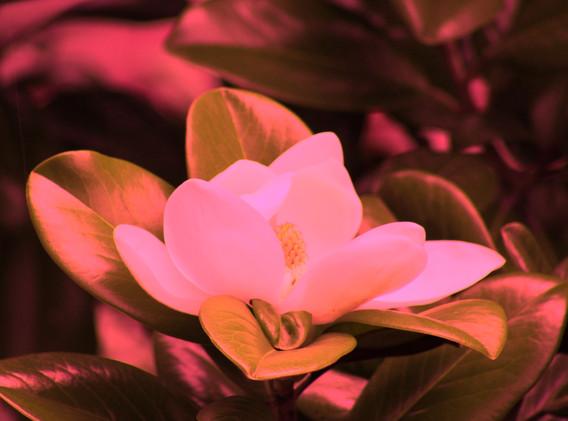 Mary Ann ice cream flower_9106.JPG