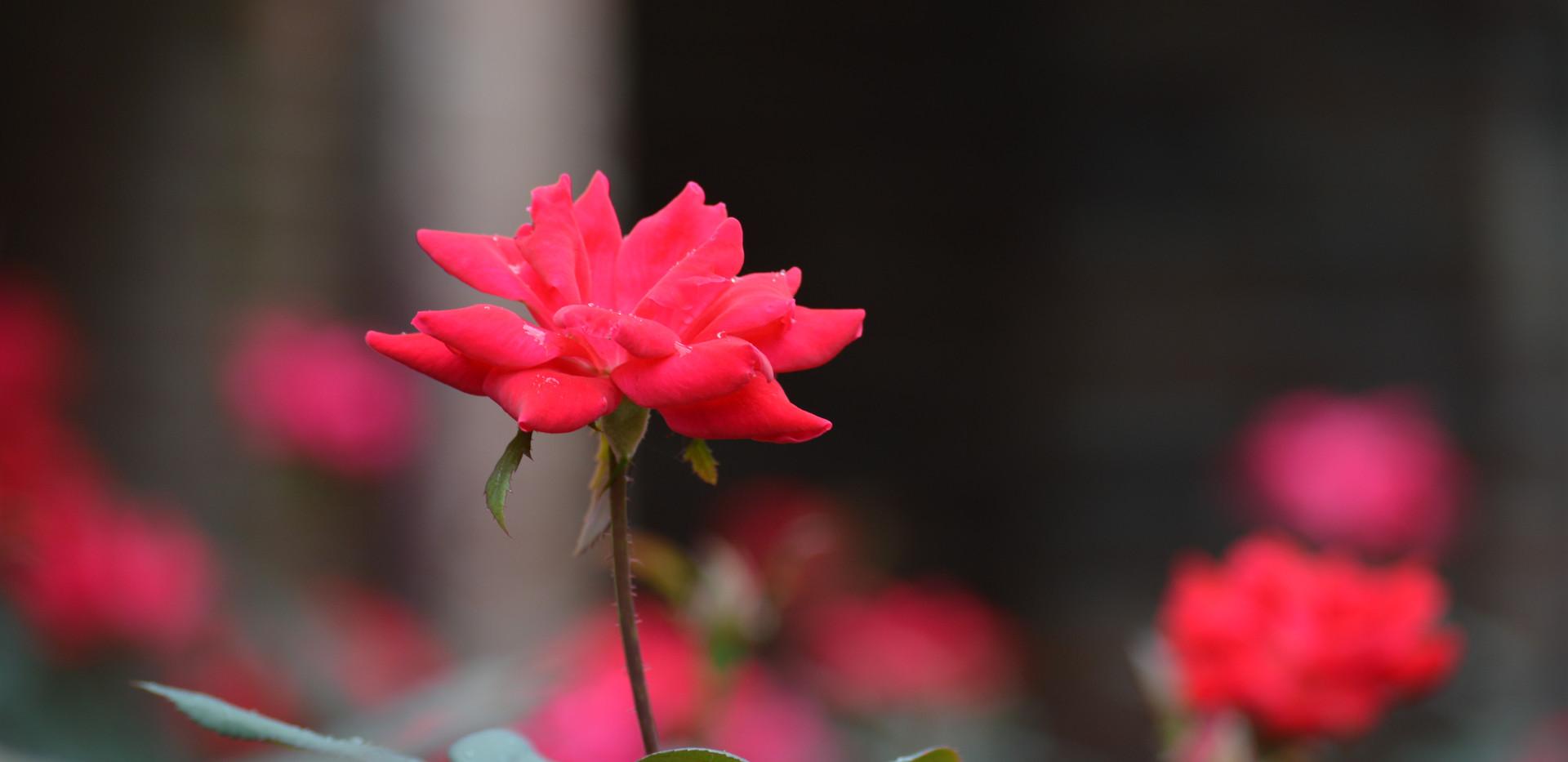 single rose avery  (1).JPG