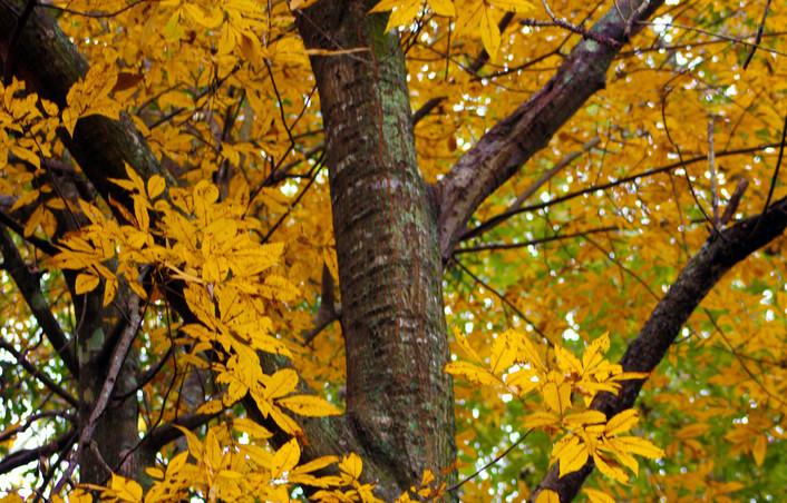 Mary - yellow leaved trees. jpg.JPG