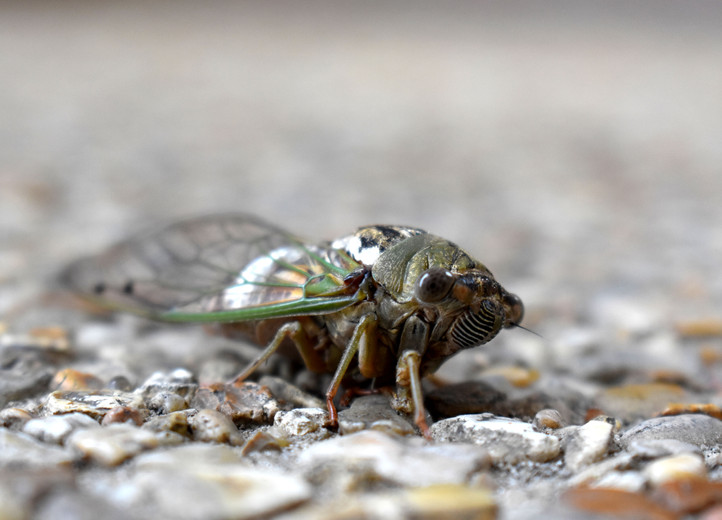 meredith cicada.JPG