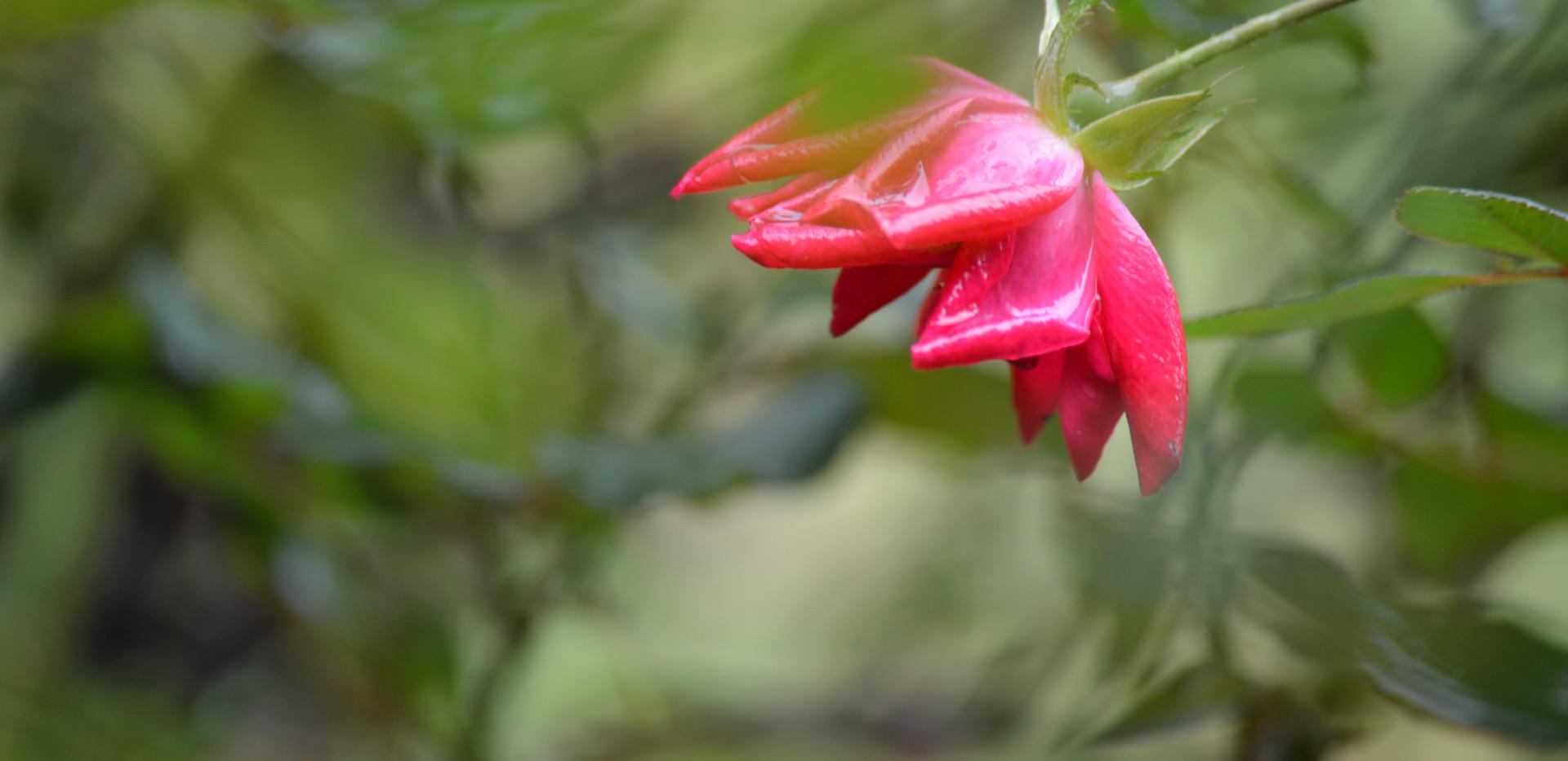 rose wabi sabi avery.JPG