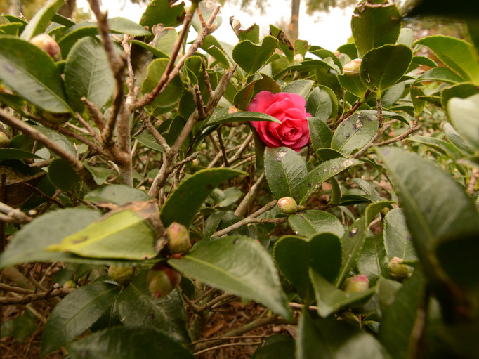 margaet beautiful rose.JPG