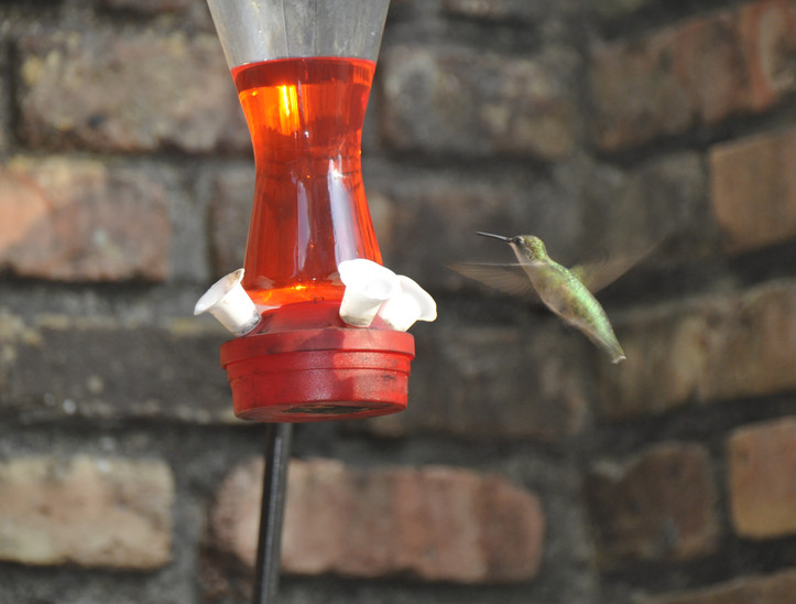 libbie humming bird.JPG