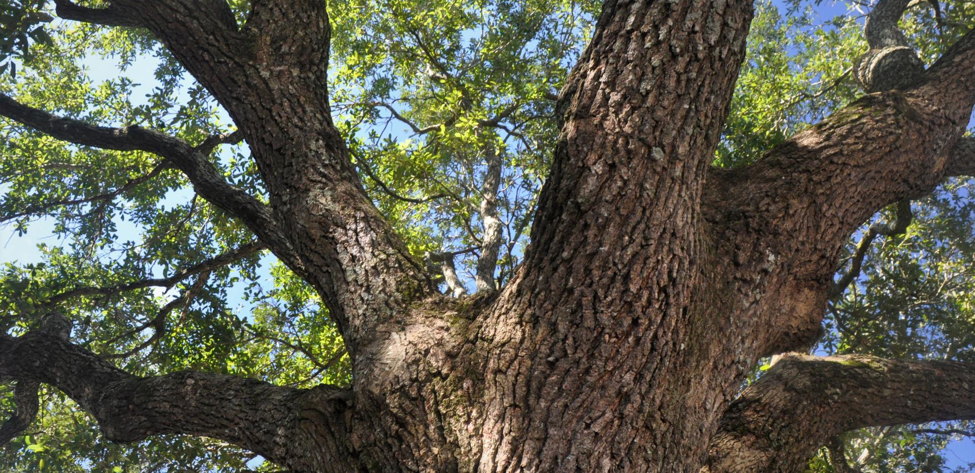 Tree- Sessums.JPG