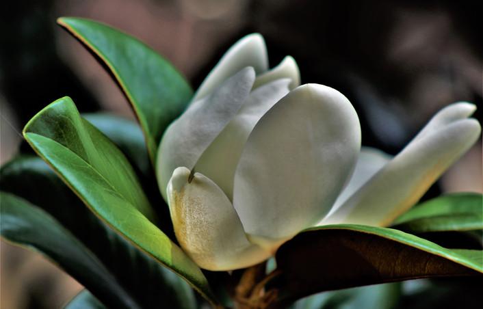 Mary - white flower blooming. jpg.JPG