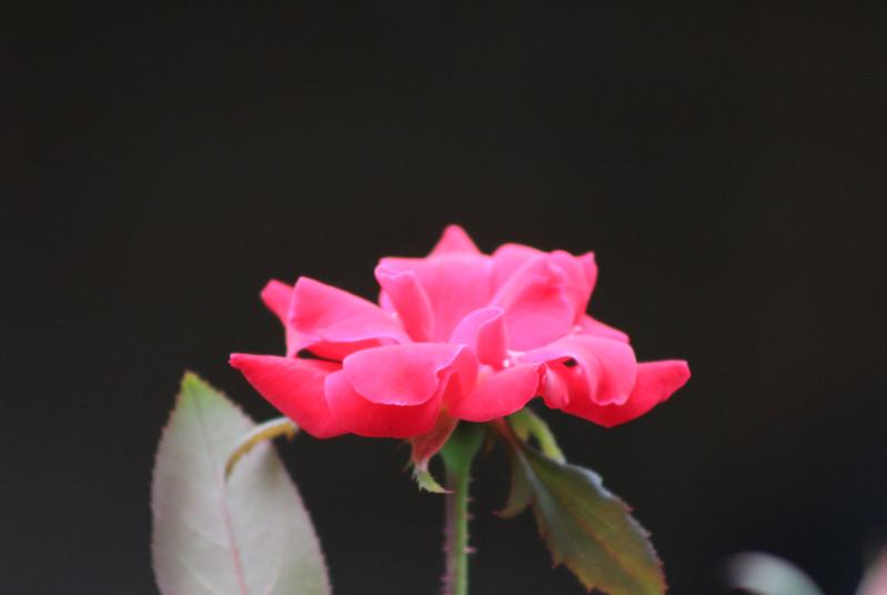 Eva Pink Flower.JPG