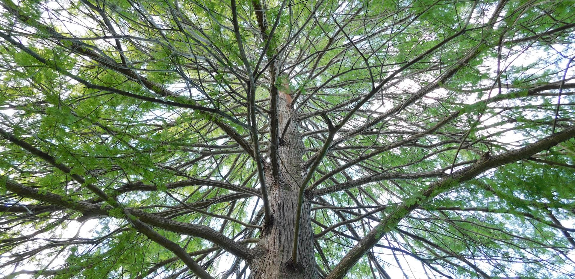 cypress tree symmetry avery.JPG