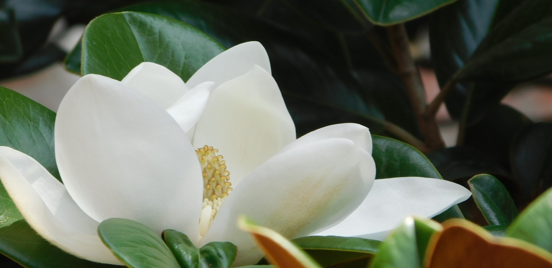 close up magnolia by libbie kelly.JPG