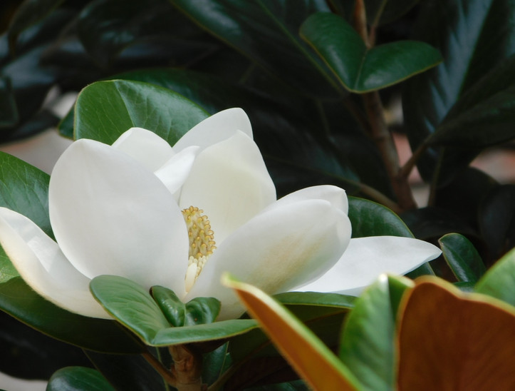 close up magnolia by libbie kelly.JPG