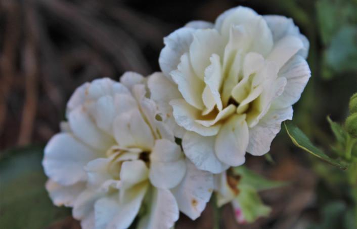 Mary - white flower. jpg.JPG