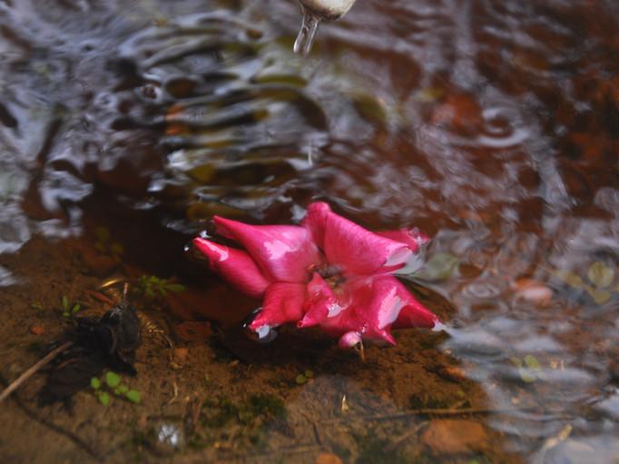 margaret pink flower wabi sabi. jpg.JPG