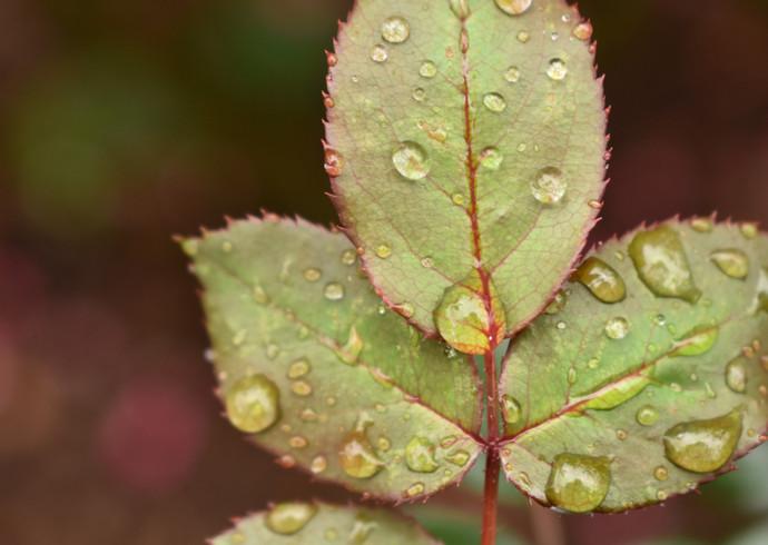 rain on leaves- Tori.JPG