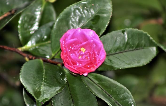 Mary - unbloomed rose. jpg.JPG