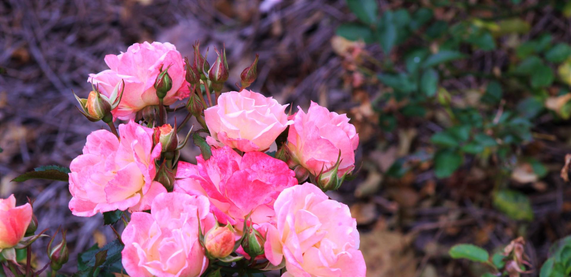 pink roses.JPG