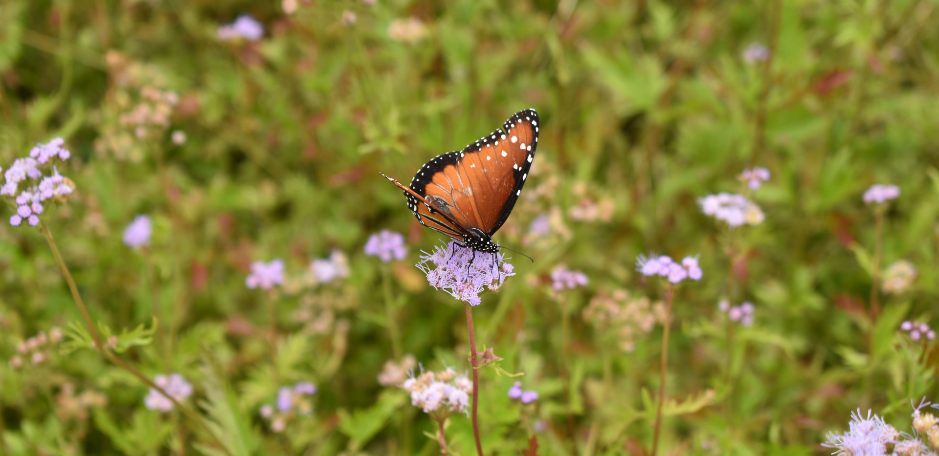 butterfly on flower- Tori.JPG