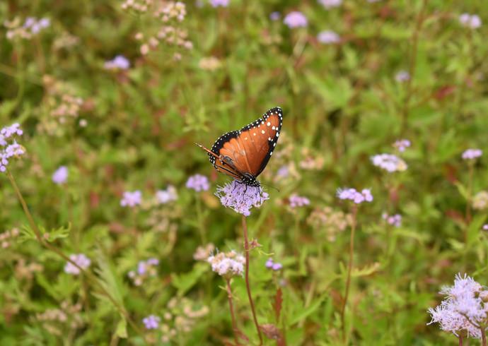 butterfly on flower- Tori.JPG