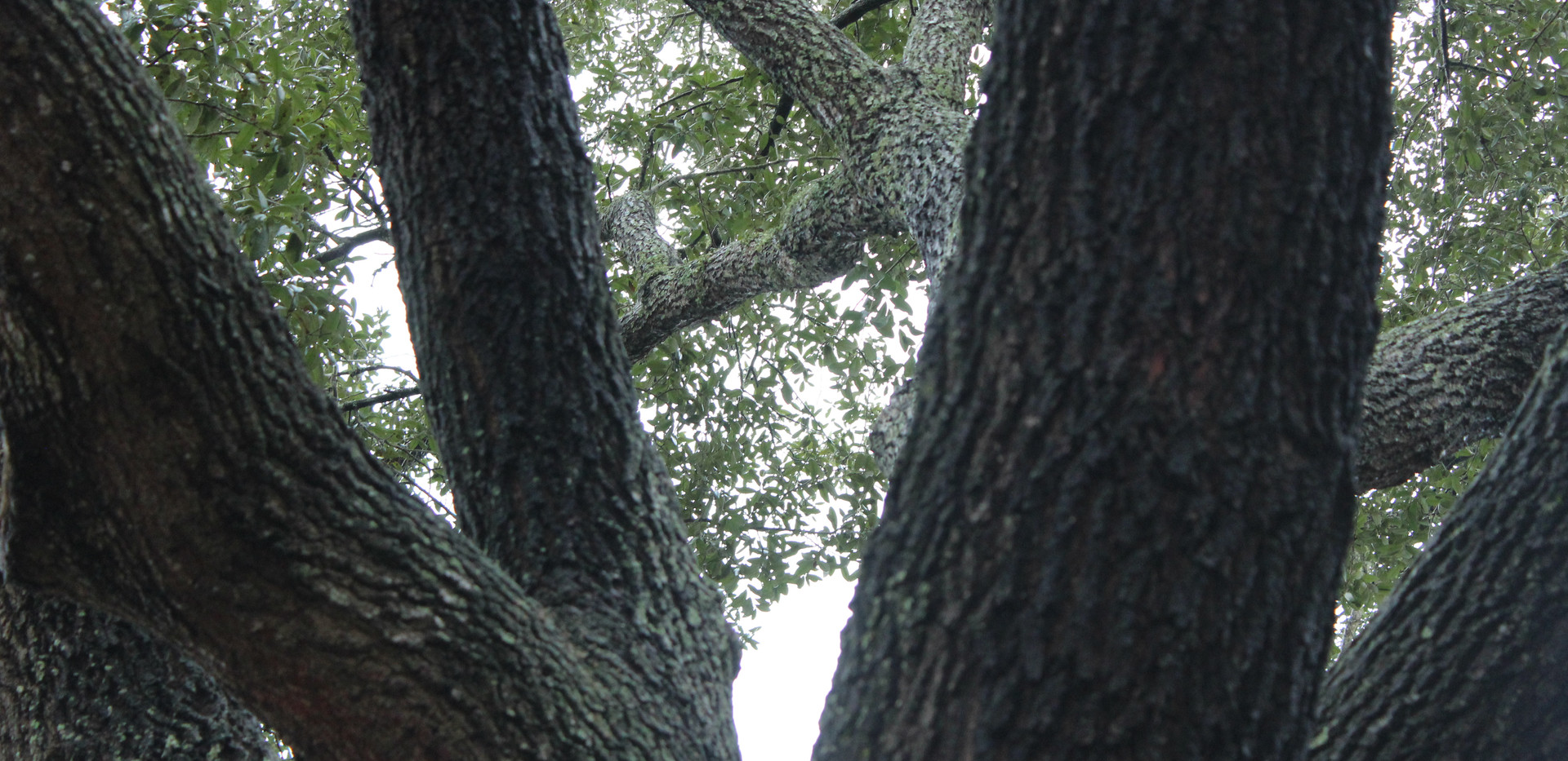 libbie tree with mixing branches.JPG