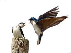barn_swallow3.png