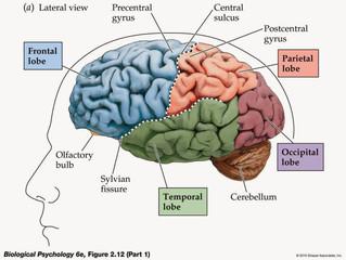 How To Study For Neuroanatomy