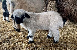Ram Lamb 2020.jpg