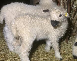 White Ewe lamb.jpg