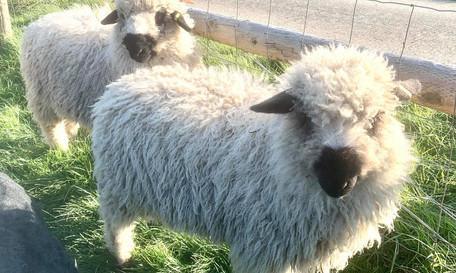 sheep 6.jpg