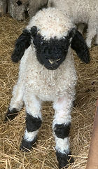 Chartleys Ice VBN Ram Lamb.jpg