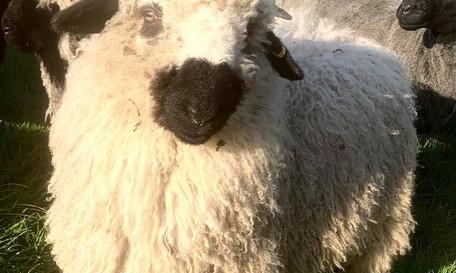 sheep 5.jpg