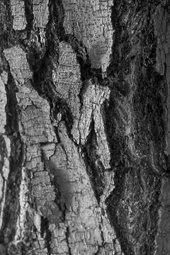 Tammepuu
