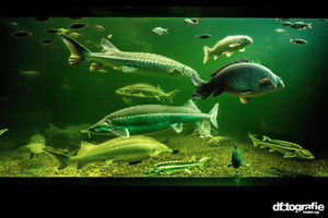 werbefotografie-meilenstein-aquarium-stoere-karpfen-fische