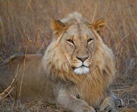 Adolescent Lion, Zimbabwe.jpg