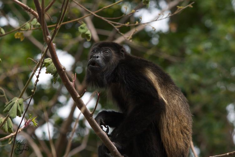 Howler Monkey, Costa Rica.jpg