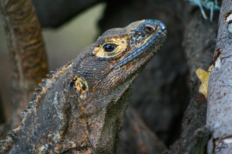 Iguana Headshot, Costa Rica.JPG