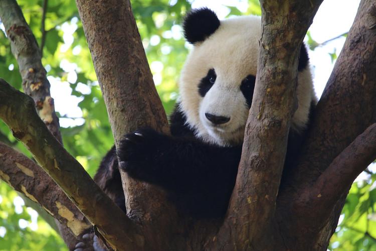 Panda in Tree.jpg