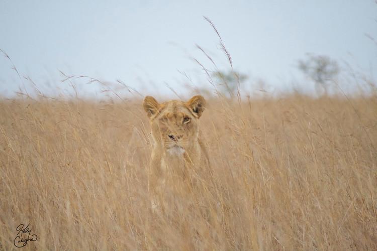 Lion's Eye, Zimbabwe.jpg