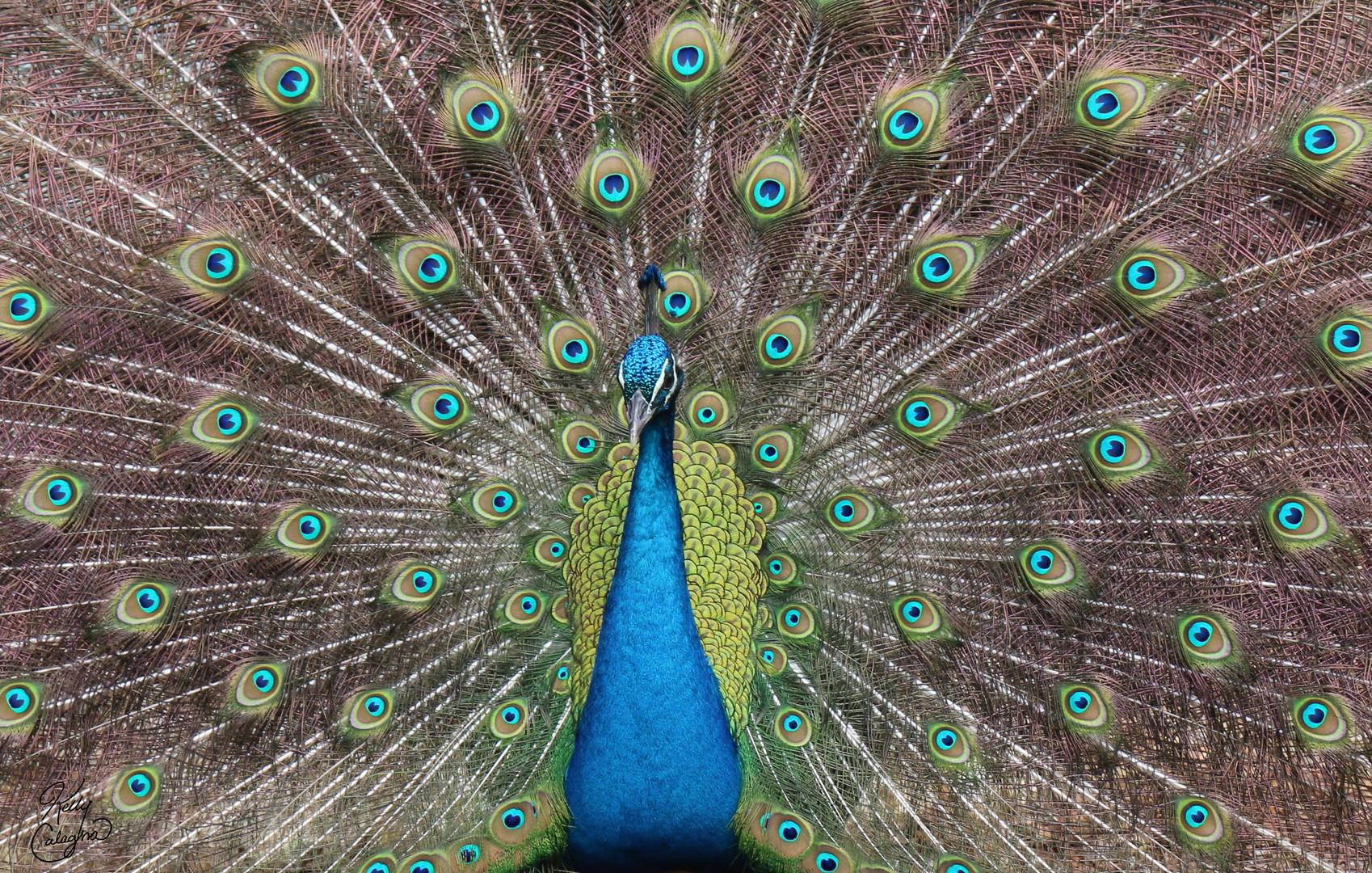 Peacock Display, Texas.JPG