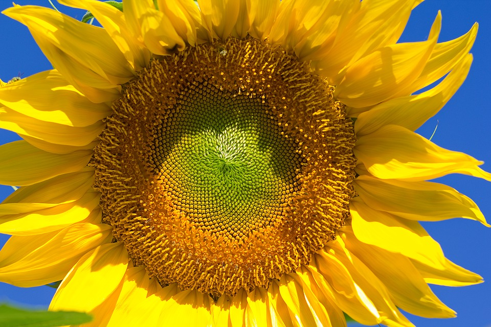 sunflower-2250353_960_720