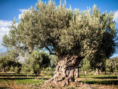 Novel Fruit Paradise in Turkey: Akhisar and Gemlik Olives